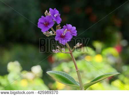 Blue Flower Of Tibuhin Urvilleana (tibouchina Urvilleana) Or Laziander Seven-stamen (lasiandra Semid