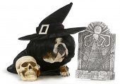 halloween dog - english bulldog dressed up like a witch sitting beside skull and gravestone isolated on white background poster