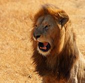 A Lion comicly opening its mouth and appearing to talk. poster