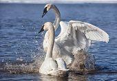 Trumpeter swans exhibiting courtship behavior.  Image taken in the wild. poster