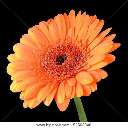 Orange Gerbera Flower With Green Stem Isolated On Black