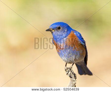 Western Bluebird, Oregon, US