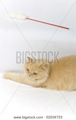 Persian cat and toy poster