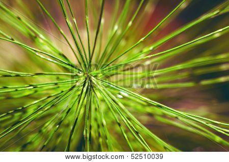 needles the coniferous branch of pine tree close-up photo