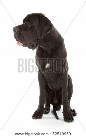black great dane dog isolated on white background poster