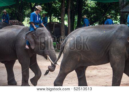 Mahouts ride on elephants