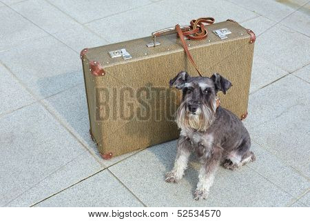 Traveling miniature schnauzer sits beside his suitcase poster