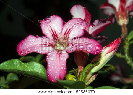 Adenium Obesum, Desert Rose, Impala Lily, Mock Azalea