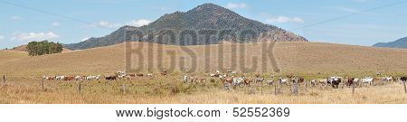 Rural Australia Panorama Landscape Cattle Country