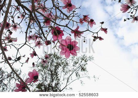 Magnolia Tree in Bloom againsa Spring Sky poster