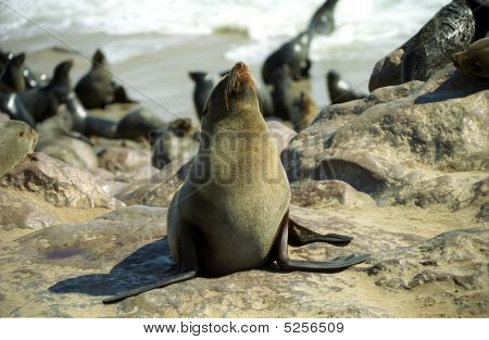 South African Furseal, Cape Cross, Namibia