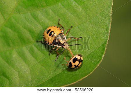 Stinkbug Hunting Ladybug On Green Leaf