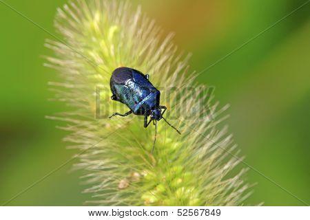 Purple Stinkbug On Green Leaf