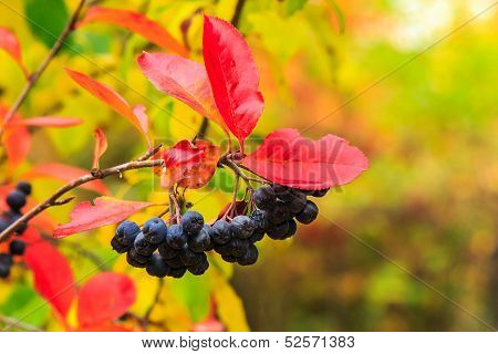 Black Rowan Berries With Red Leaves In Autumn