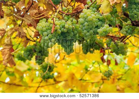 White Grapes On Vineyard Blurred Background