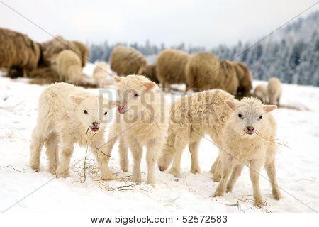 Flock of sheep skudde with lamb