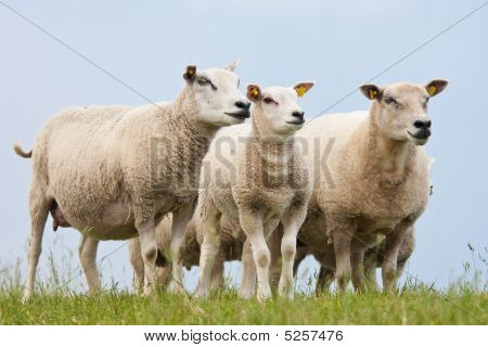 Curious Sheep