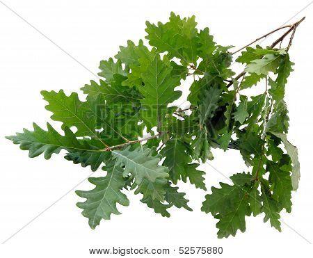 twig of oak tree