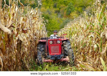 Old farmer driving the tractor in the cornfield at the corn harvest poster