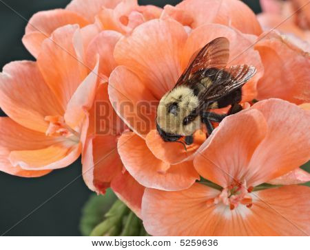 Common eastern bumble bee (Bombus impatiens) on a geranium flower poster