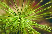 needles the coniferous branch of pine tree close-up photo poster