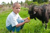 The boy feeds a goat on dandelions poster