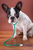 French bulldog wearing a stethoscope like animal doctor poster