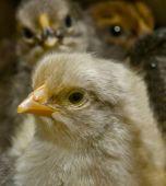 Dark chickens who were born recently. Dark chickens who were born recently. poster