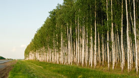 Birch fores