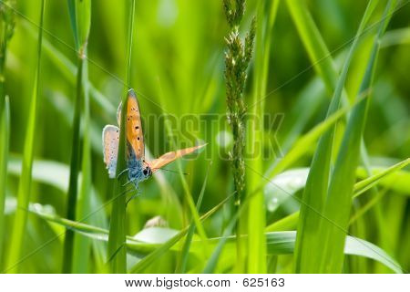 Butterfly On Grass Blade