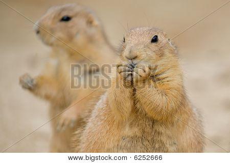 Prairie Dogs - Cynomys