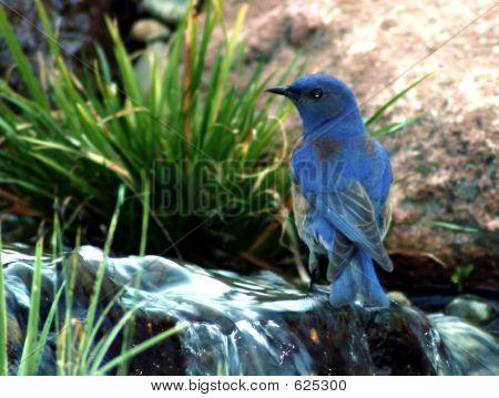 Blue Bluebird