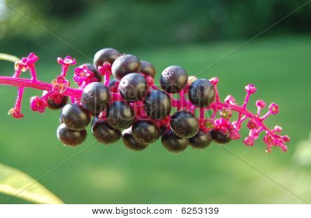 Phytolacca pokeweed, purple berries with garden background poster