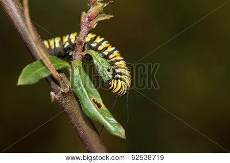 A Genuine Monarch Butterfly Caterpillar