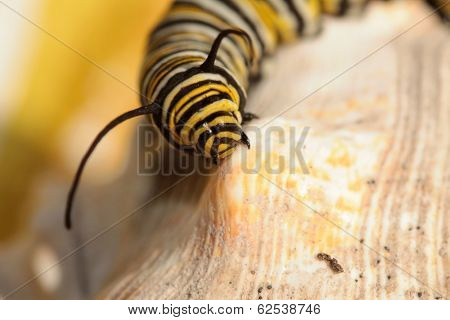 """A Genuine Monarch Butterfly Caterpillar """"Danaus plexippus"""" sits on a sea shell in the sun. Butterflies were once though to be attracted to butter and drink the cream from the top, earning their name. poster"""