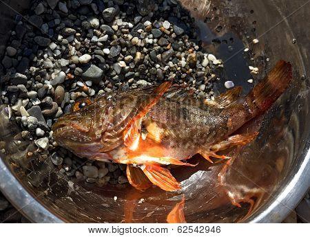 Fresh Scorpion-fish (scorpaenidae) Caught In A Bowl