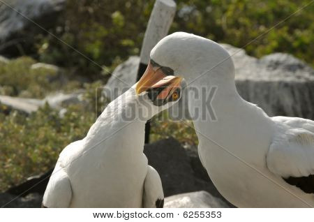 Pair of Nazca Boobies grooming each other, Galapagos Islands poster