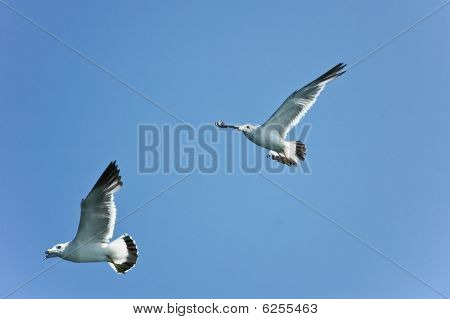 Close-up Of White Seagulls Flying Over Blue Sky.