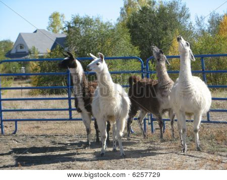 Lamas, fearful of capture, bunched in the corner of a pen.