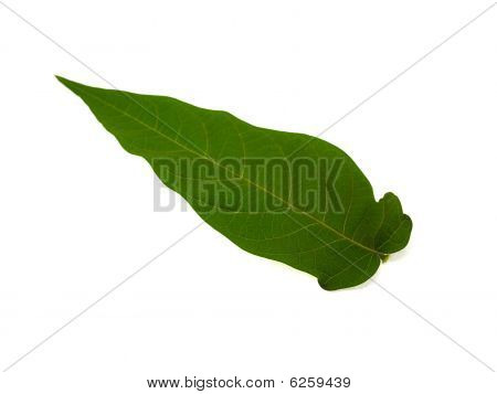 Green Long Leaf From A Tree
