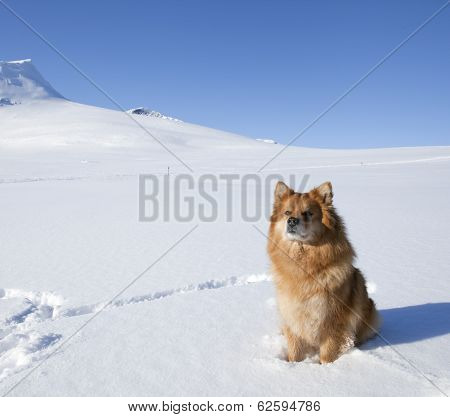 The Finnish Lapphund in it?s habitats, biotope, winter, snow and mountains. Sunny and cold day, white and blue colors. poster
