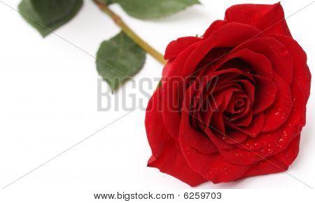 Rose On White