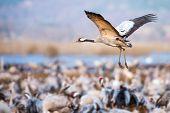 Incoming Common Crane (Grus grus) at Hornborgarsjon Sweden poster