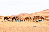 Camels in the  desert from Morocco poster