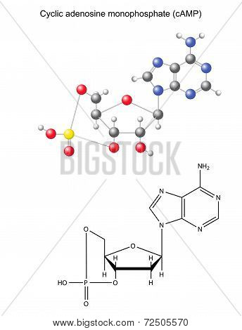 Structural Chemical Formula And Model Of  Cyclic Adenosine Monophosphate