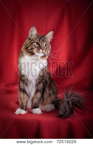 The biggest Maine Coon cat in studio poster