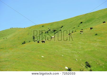 California ranch cattle graze among wildflowers: Spring in the Sierra Nevada Mountains poster