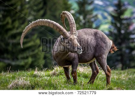 Great Ibex Of The Alps