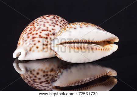 seashell of tiger cowry isolated on black background