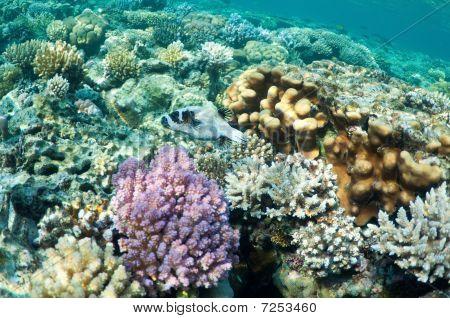 Puffer Fish In Coral Garden